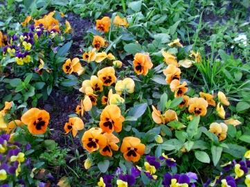 28201529_violaceae
