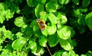 Butterfly_on_green_leafs