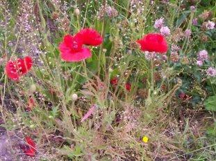 af6d7ea9d9-Flowers_on_unmowed_verge