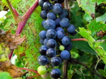 Frost_grapes_(Southeast_Michigan)