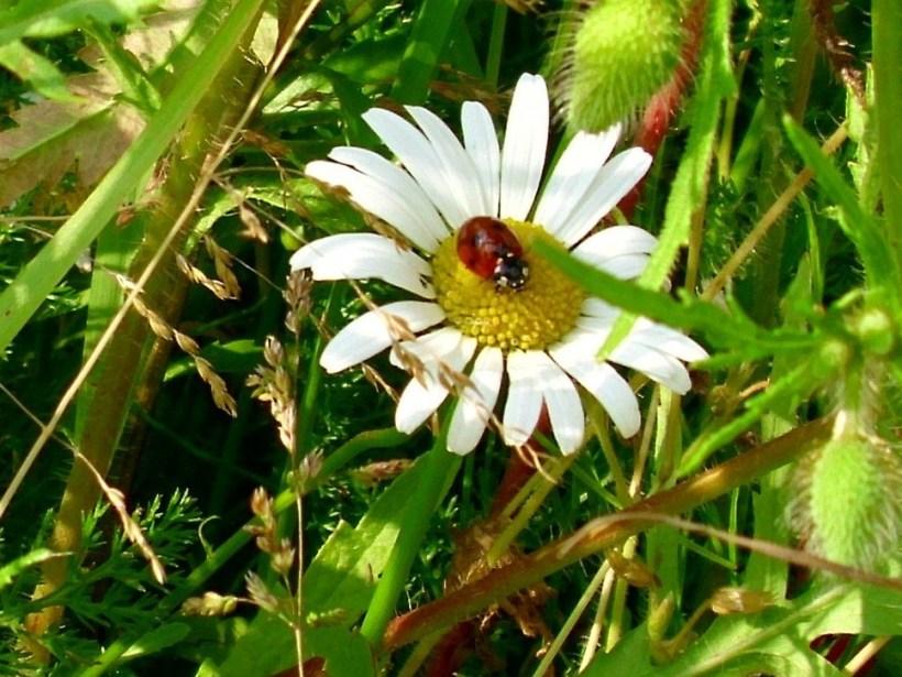 ladybird_on_white_daisy